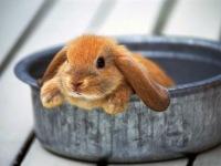 Tavşanın suyunun suyu: Homeopati