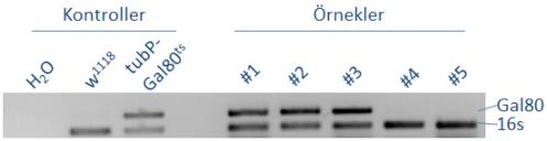 Şekil 6. Drosophila melanogaster örneklerinde Gal80 geninin polimeraz zincir tepkimesi ve %2'lik agaroz jeli elektroforezi ile incelenmesi.
