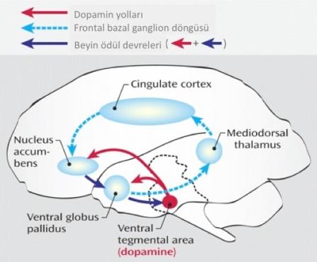 Plasebo tedavilerinin, beyin ödül mekanizmaları üzerinden etki gösterdiği düşünülüyor. (Kaynak:Scienceblogs)