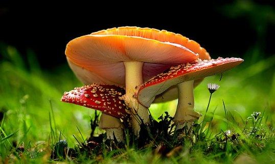 Amanita muscaria.jpg